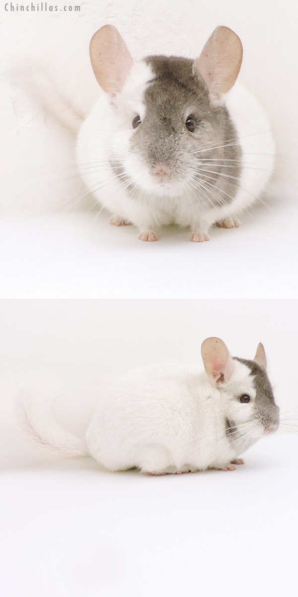 18111 Show Quality Extreme Beige & White Mosaic Male Chinchilla