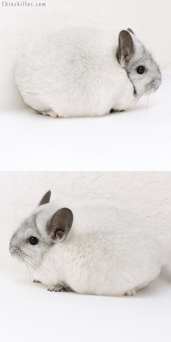18112 Blocky Premium Production Quality White Mosaic Female Chinchilla