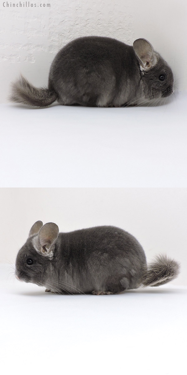 18123 Show Quality TOV Wrap Around Violet Male Chinchilla