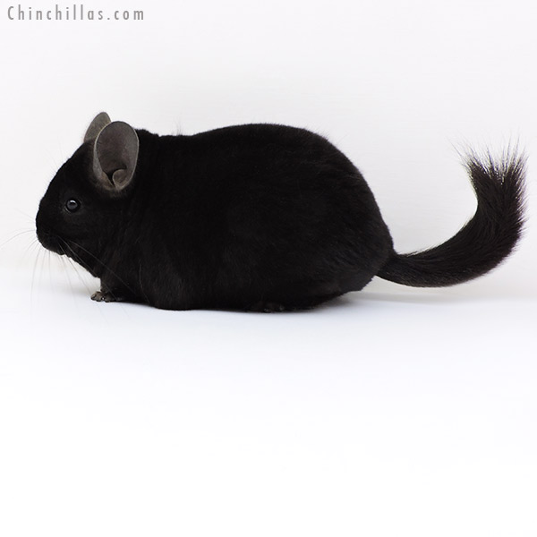18129 Large Blocky Premium Production Quality Ebony Female Chinchilla