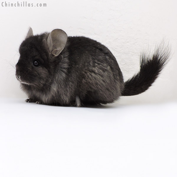 18136 Ebony CCCU Royal Persian Angora ( Locken Carrier ) Female Chinchilla