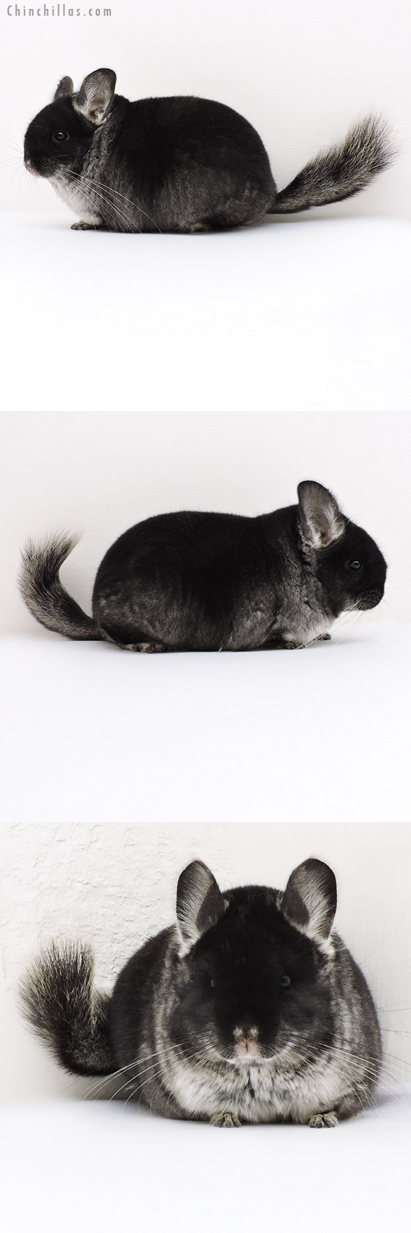 18138 Large Brevi Type Premium Production Quality Black Velvet Female Chinchilla