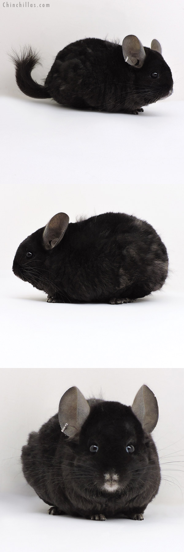 18139 Large Exceptional Ebony CCCU Royal Persian Angora ( Locken Carrier ) Female Chinchilla