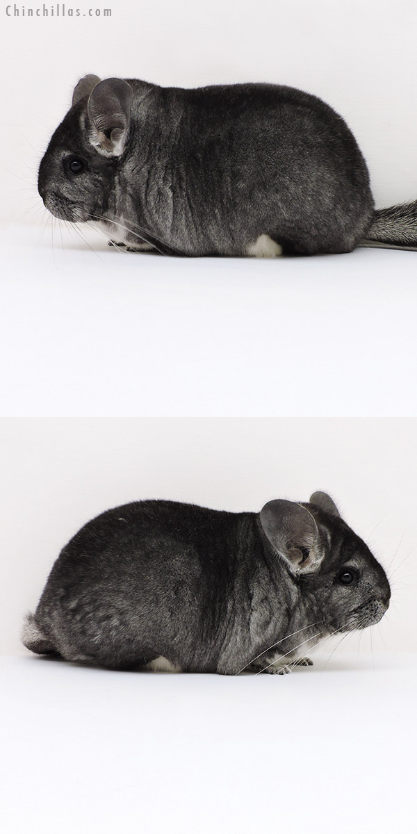 18143 Large Blocky Premium Production Quality Standard Female Chinchilla