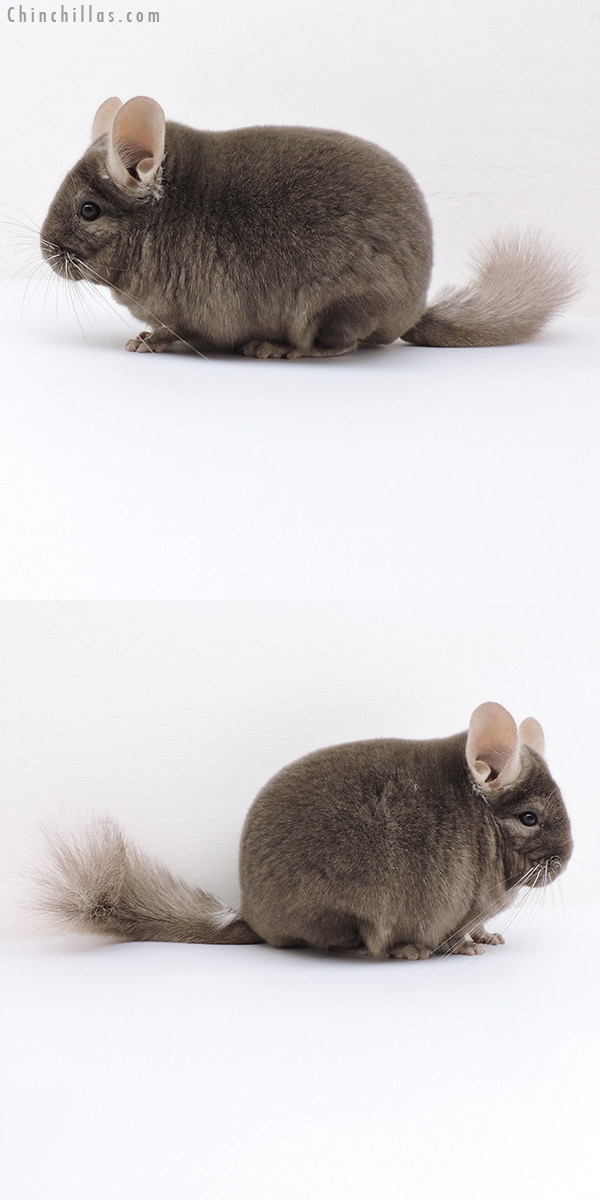 18145 Large Blocky Show Quality Tan Male Chinchilla
