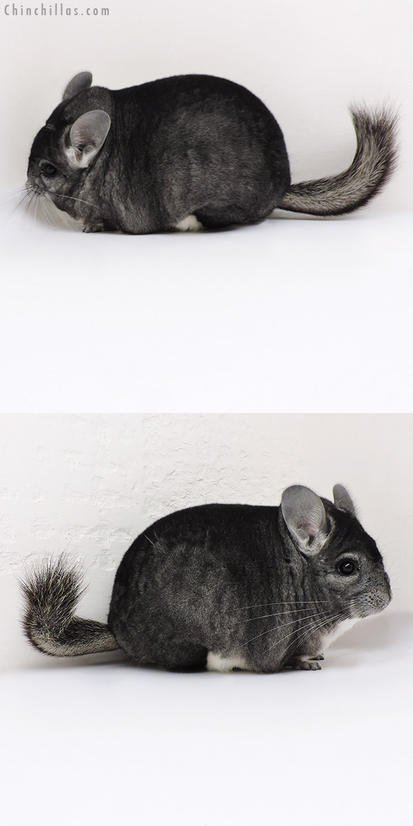 18153 Blocky Premium Production Quality Standard Female Chinchilla