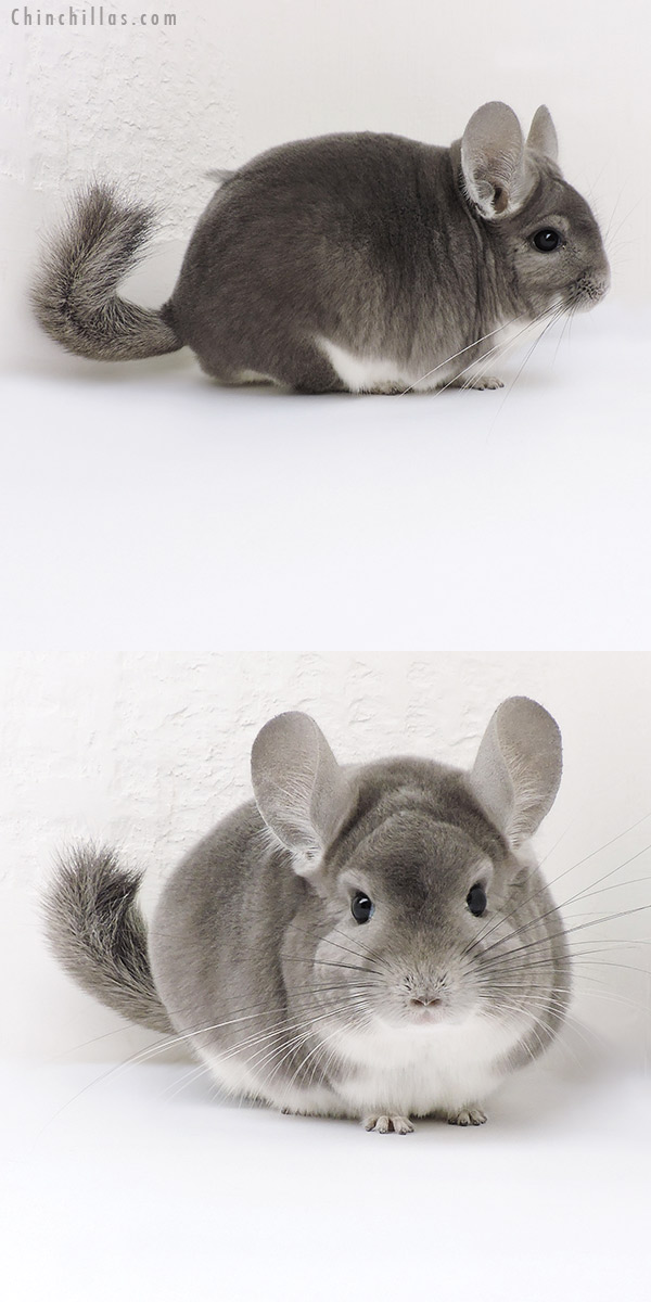 18147 Large Show Quality Violet Male Chinchilla