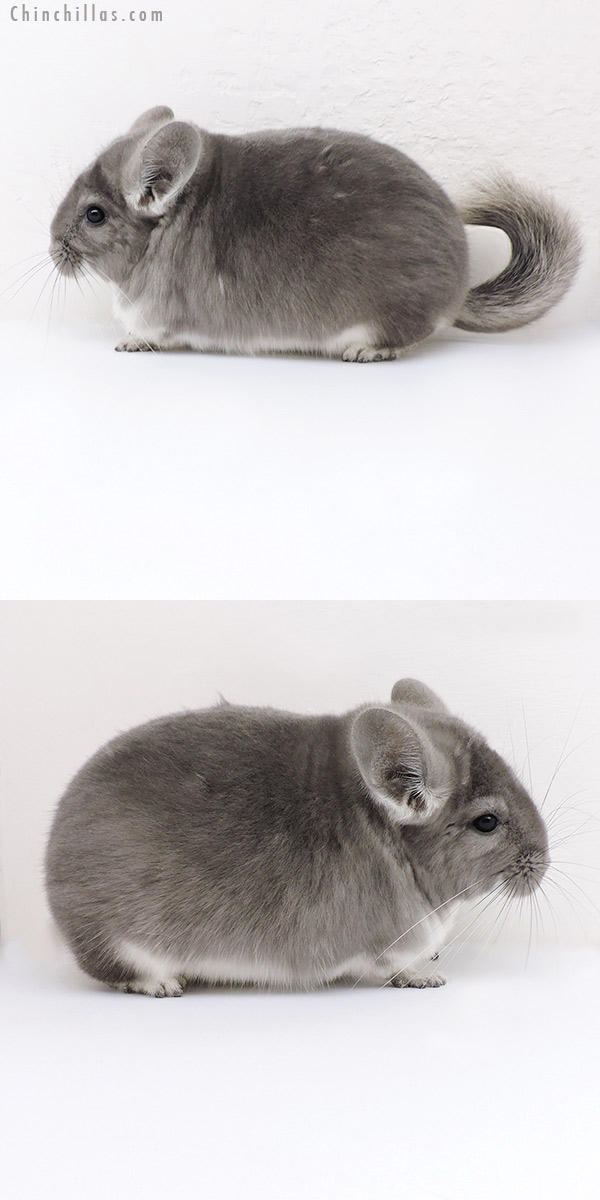 18146 Extra Large Blocky Top Show Quality Violet Male Chinchilla