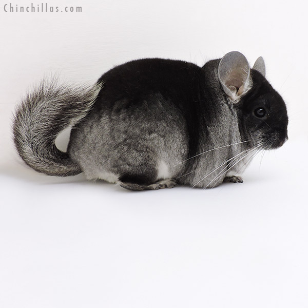 18150 Show Quality Black Velvet ( Violet Carrier ) Male Chinchilla