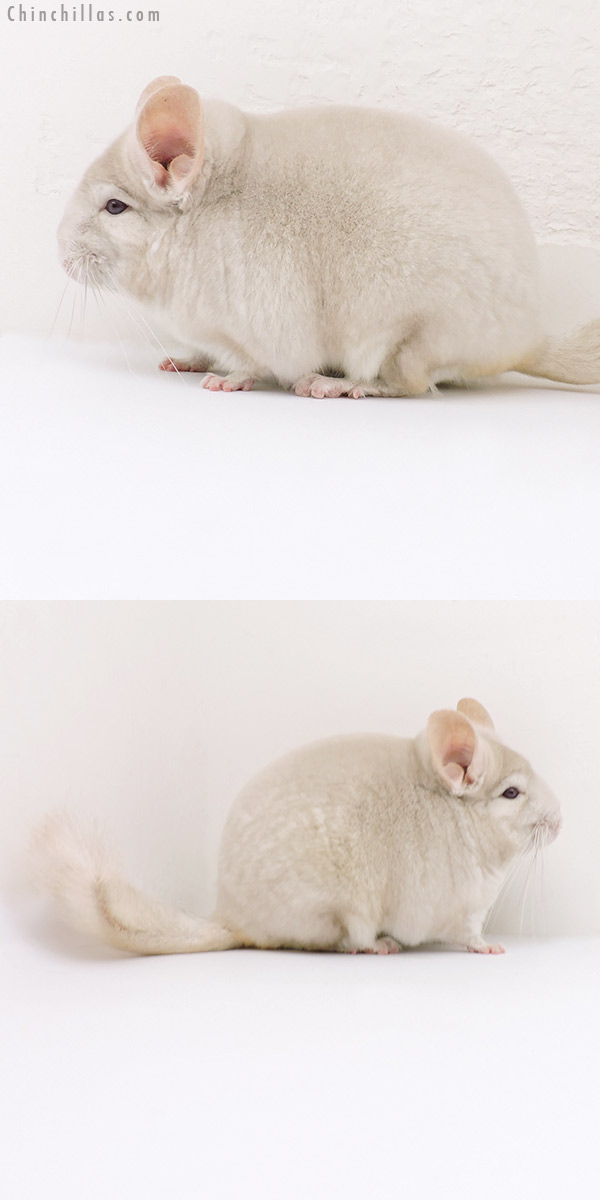 18151 Blocky Premium Production Quality Homo Beige Male Chinchilla