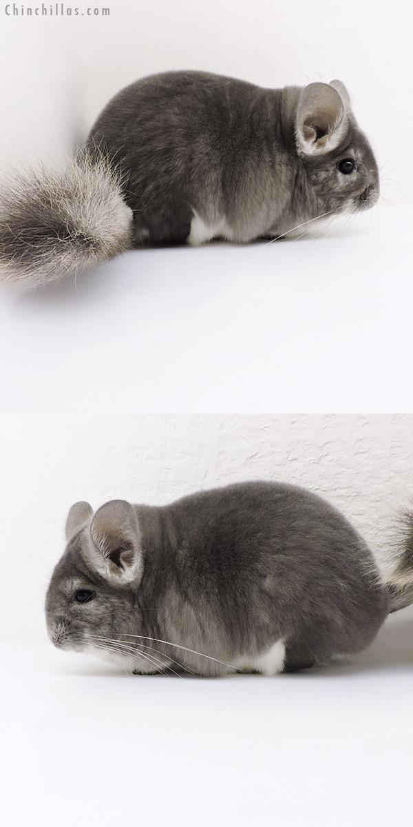 18157 Blocky Premium Production Quality Violet Female Chinchilla