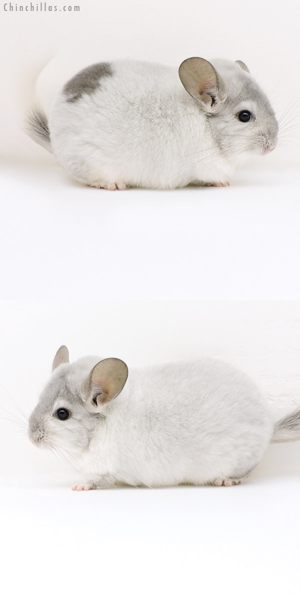 18159 Large Premium Production Quality Extreme Violet & White Mosaic Female Chinchilla