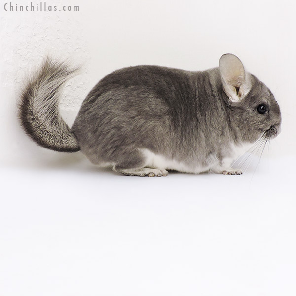 18170 Large Blocky Premium Production Quality Violet Female Chinchilla