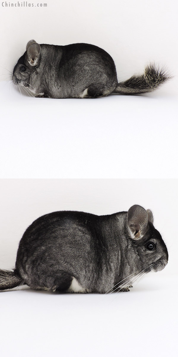 18180 Blocky Premium Production Quality Standard Female Chinchilla