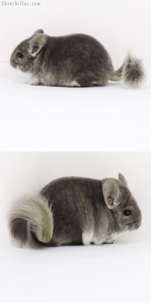 18181 Large Premium Production Quality Violet Female Chinchilla