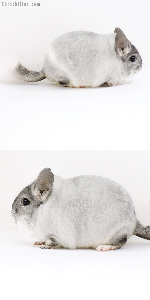 18193 Large Blocky Premium Production Quality Silver Mosaic Female Chinchilla