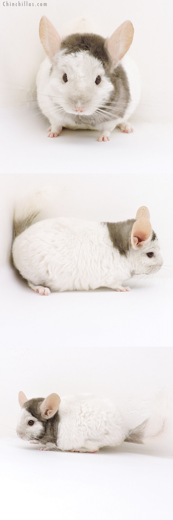 18195 Extreme Tan and White Mosaic Locken Female Chinchilla