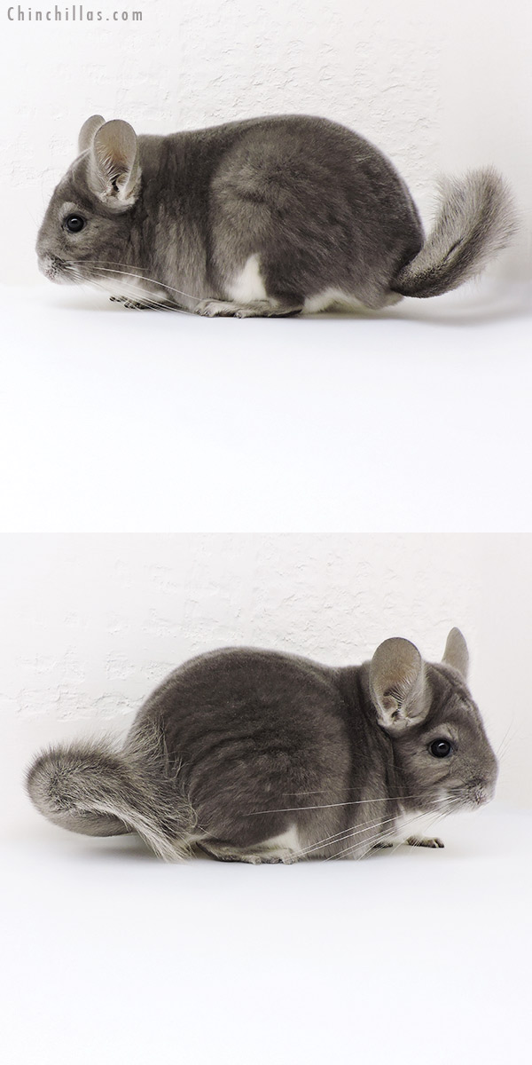 18191 Large Premium Production Quality Violet Female Chinchilla