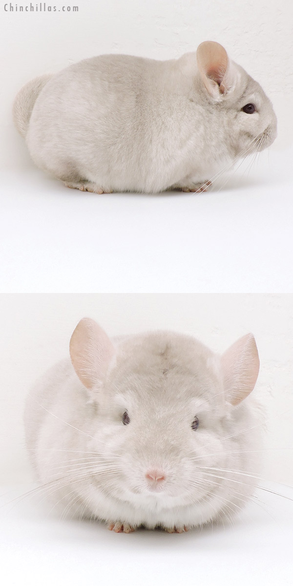 18198 Large Blocky Homo Beige Male Chinchilla