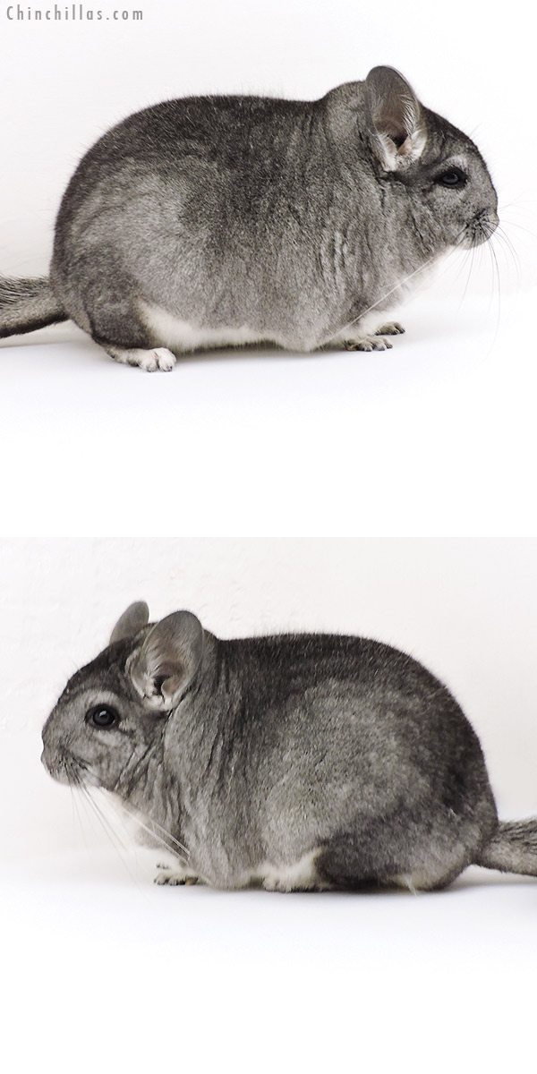 18200 Extra Large Blocky Premium Production Quality Standard Female Chinchilla