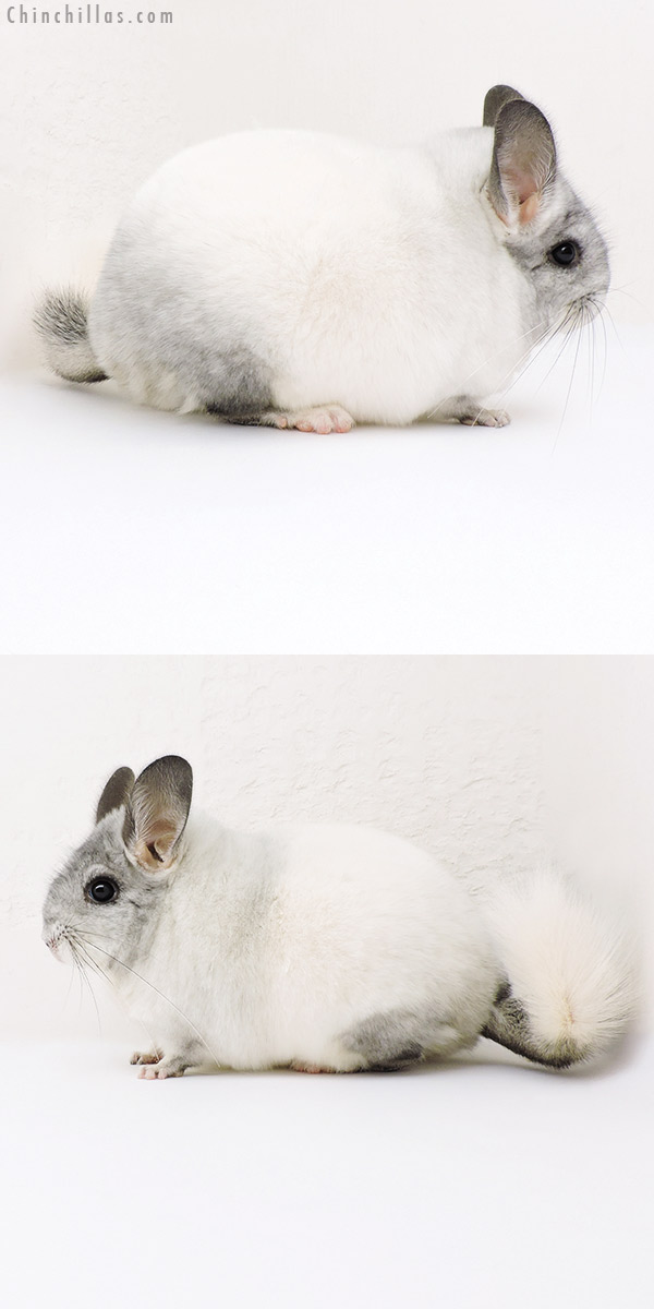 18182 Large Blocky Premium Production Quality White Mosaic Female Chinchilla