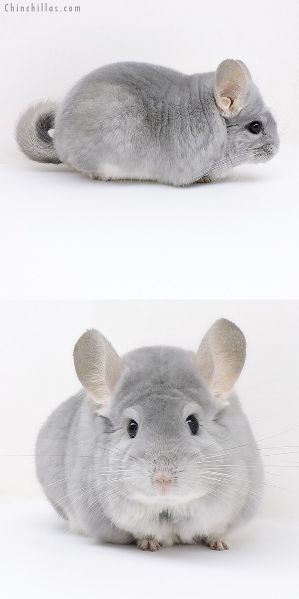 18211 Large Premium Production Quality Blue Diamond Female Chinchilla