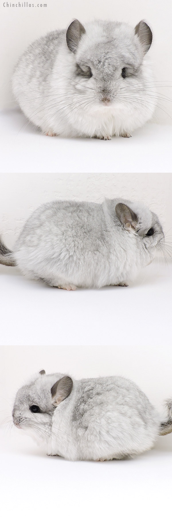 18243 Extra Large Exceptional Silver Mosaic G2 CCCU Royal Persian Angora Male Chinchilla