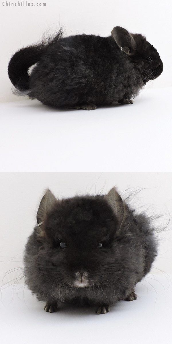18221 Exceptional Ebony CCCU Royal Imperial Angora Male Chinchilla
