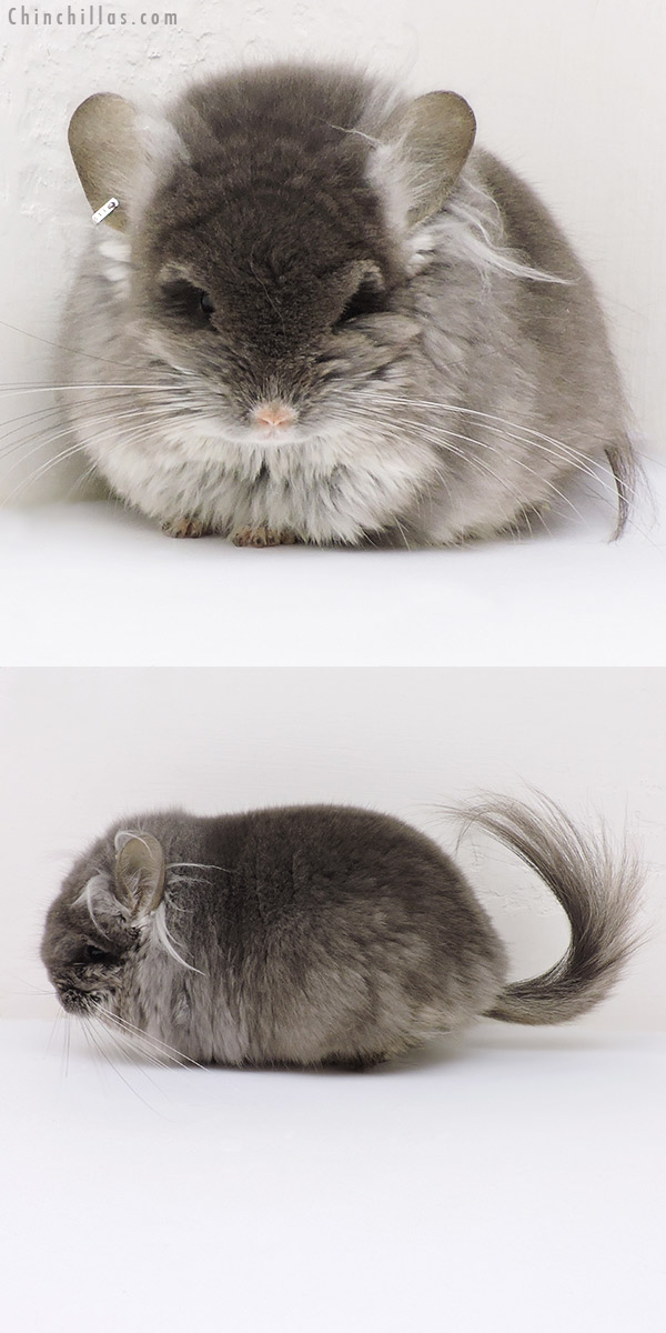 18241 Large Exceptional TOV Violet G2 CCCU Royal Persian Angora Male Chinchilla
