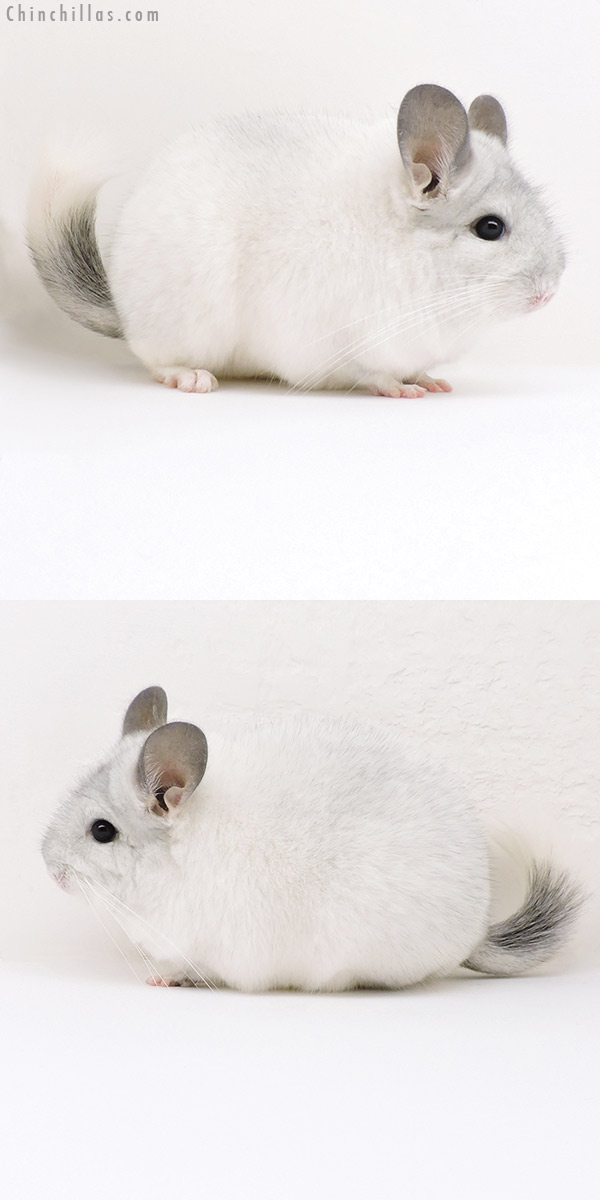 18232 Show Quality White Mosaic Female Chinchilla