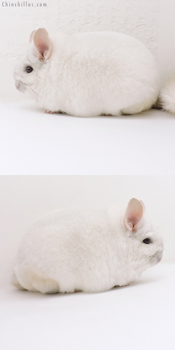 18249 Extra Large Blocky Premium Production Quality Pink White Female Chinchilla