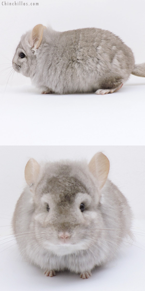 18268 Beige CCCU Royal Persian Angora Male Chinchilla