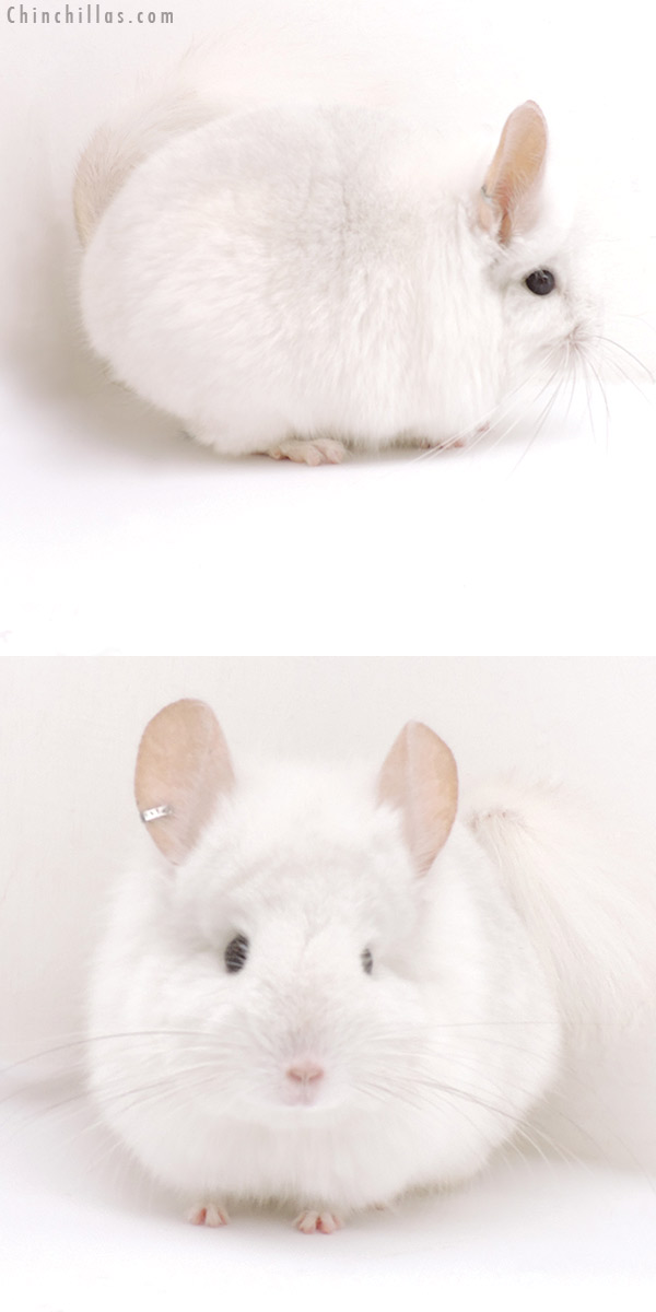18256 Pink White CCCU Royal Persian Angora Male Chinchilla