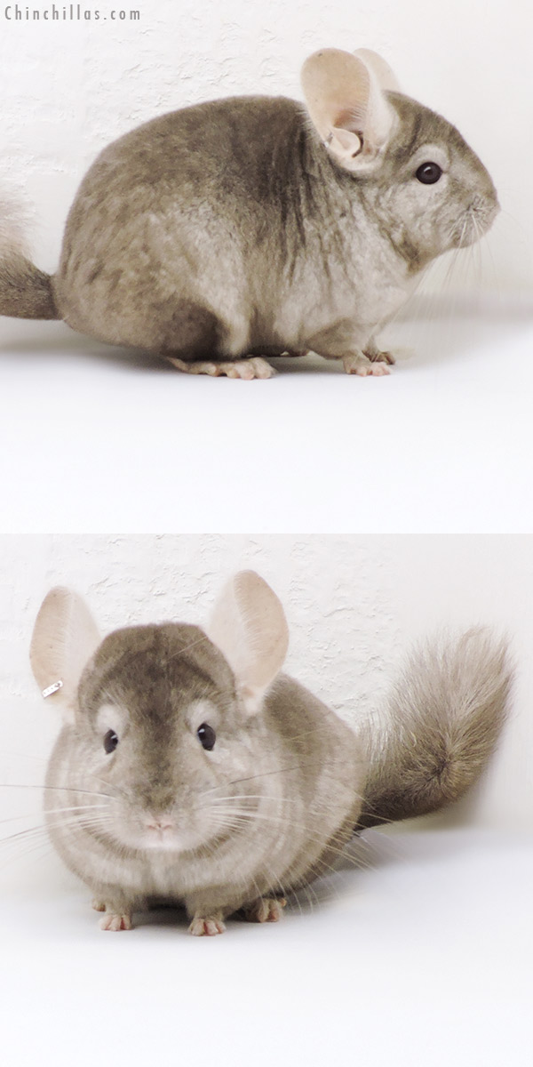 18258 Tan ( CCCU Royal Persian Angora Carrier ) Female Chinchilla