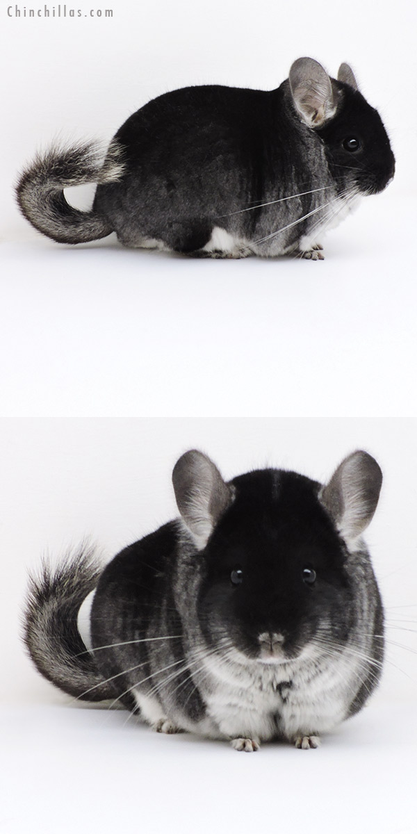 18254 Blocky Herd Improvement Quality Black Velvet Male Chinchilla