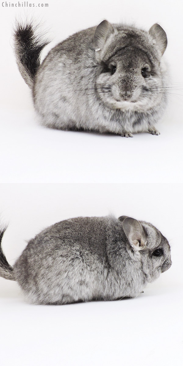 18265 Standard CCCU Royal Persian Angora ( Ebony & Locken Carrier ) Female Chinchilla
