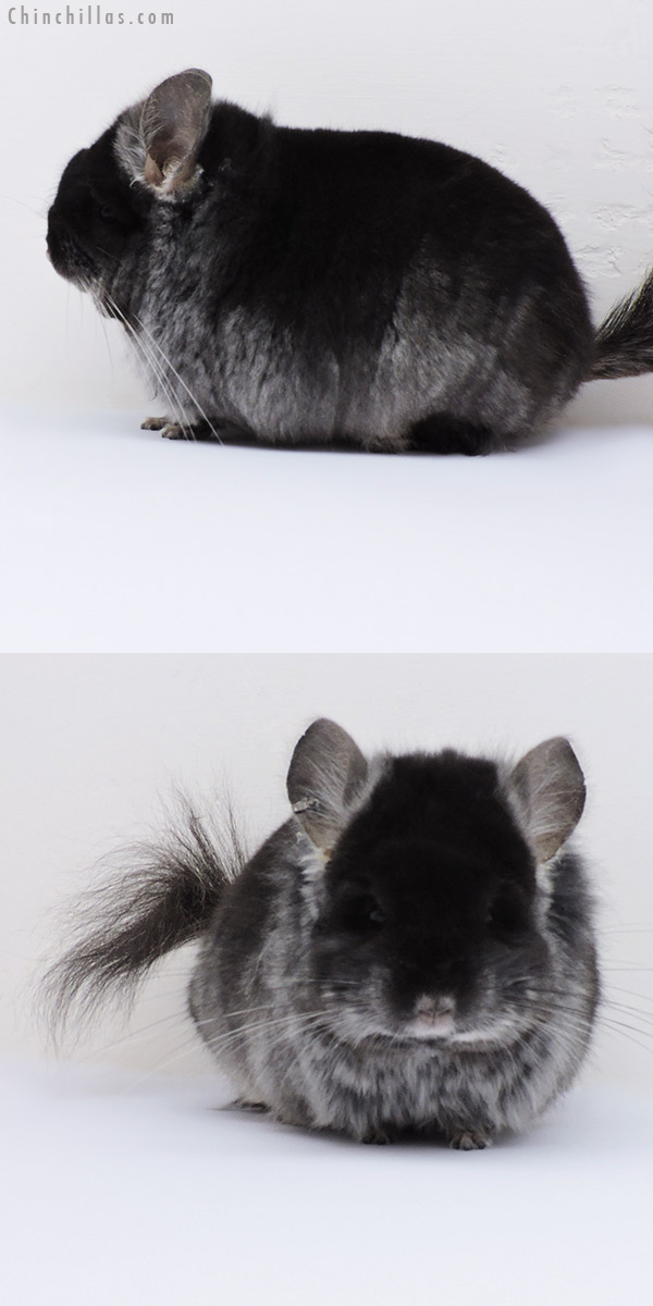 18273 Blocky Black Velvet ( Violet Carrier ) CCCU Royal Persian Angora Male Chinchilla