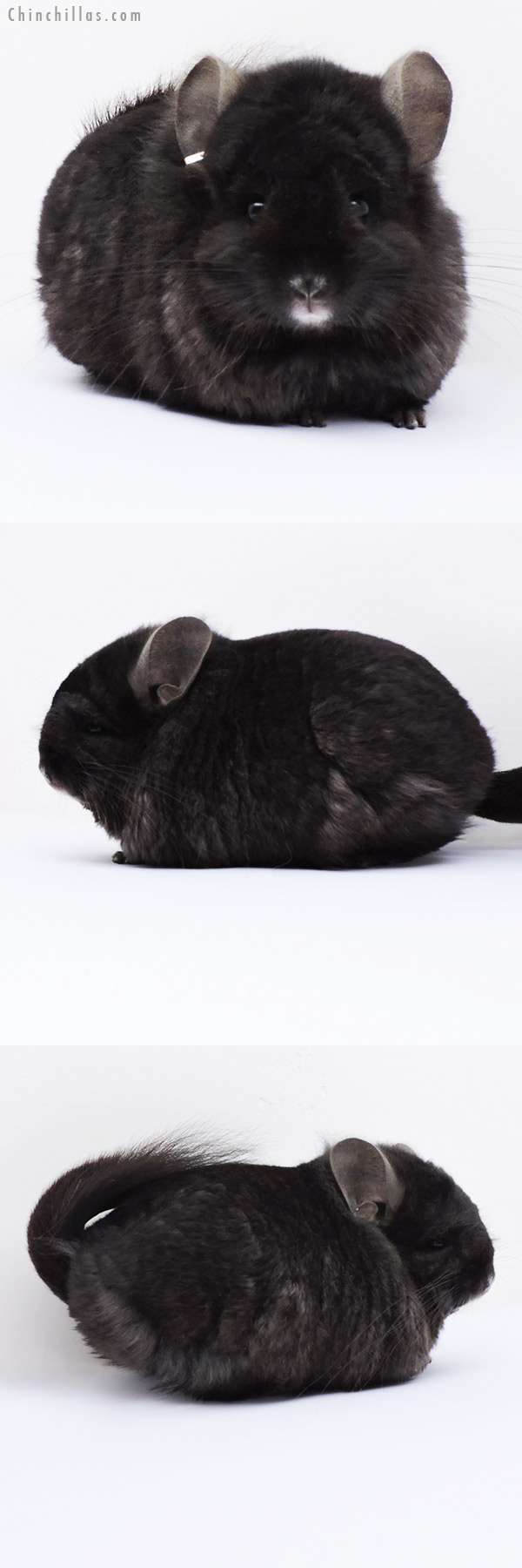 18272 Exceptional Ebony CCCU Royal Persian Angora ( Locken Carrier ) Male Chinchilla