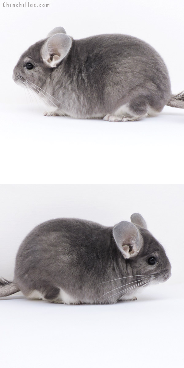18283 Large Top Show Quality Violet Male Chinchilla