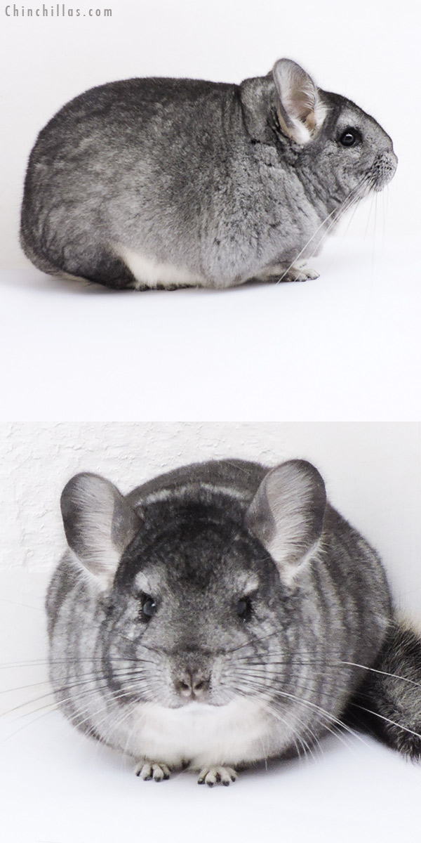 18281 Large Blocky Standard Female Chinchilla