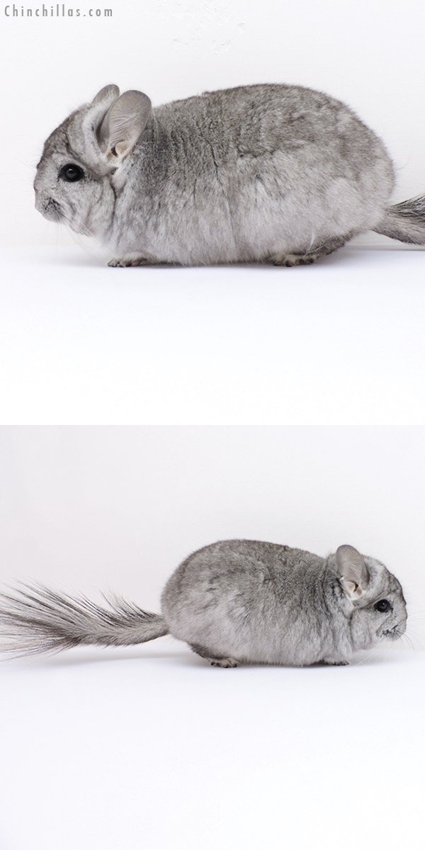 18289 Standard ( Violet Carrier ) CCCU Royal Persian Angora Female Chinchilla
