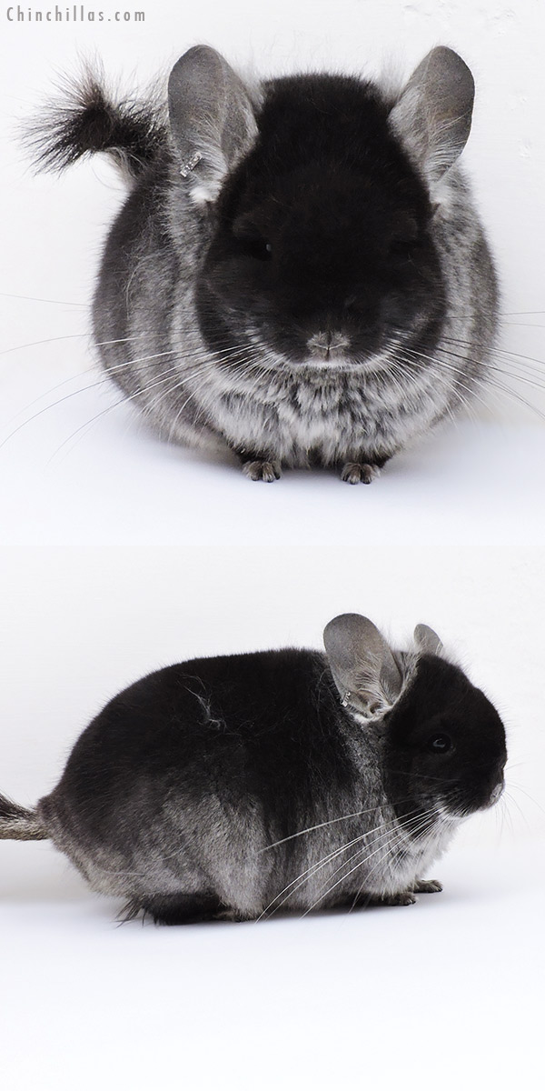 18276 Black Velvet CCCU Royal Persian Angora Male Chinchilla
