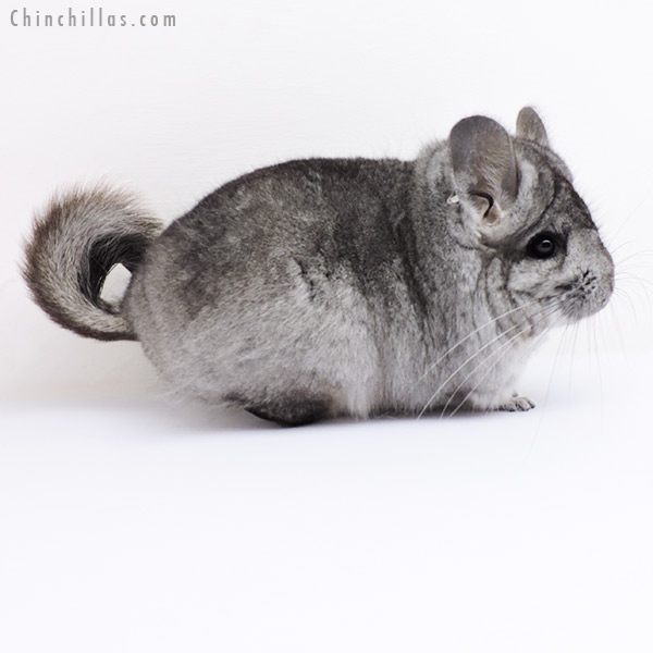 18294 Standard CCCU Royal Persian Angora Female Chinchilla