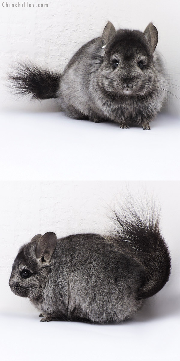 18323 Ebony ( Locken Carrier ) CCCU Royal Persian Angora Female Chinchilla
