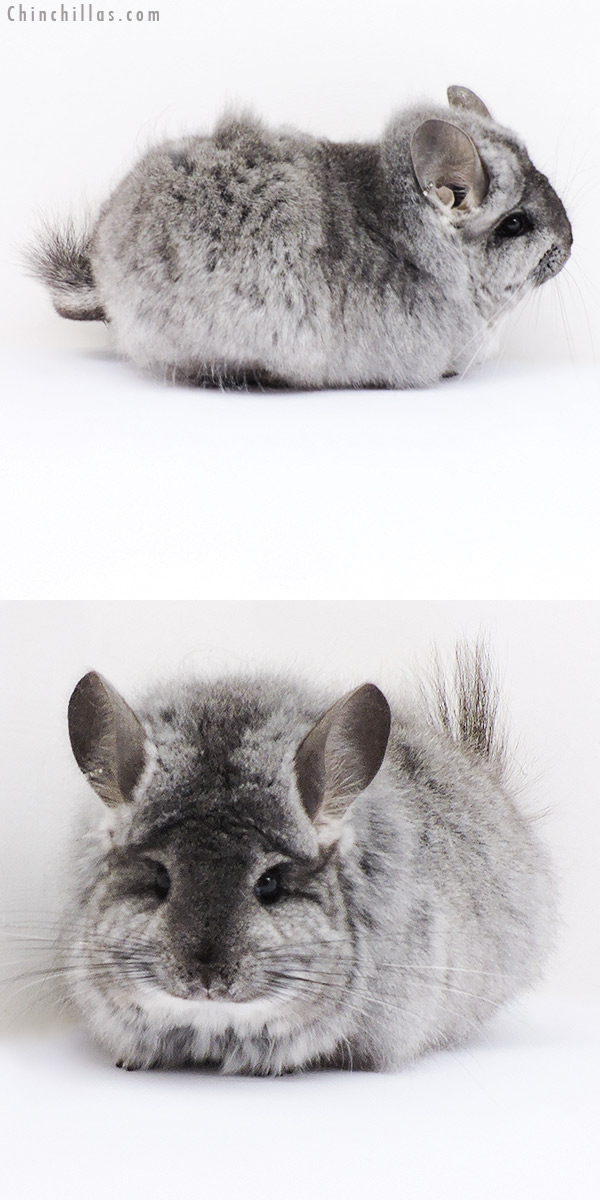 18296 Large Standard CCCU Royal Persian Angora Female Chinchilla