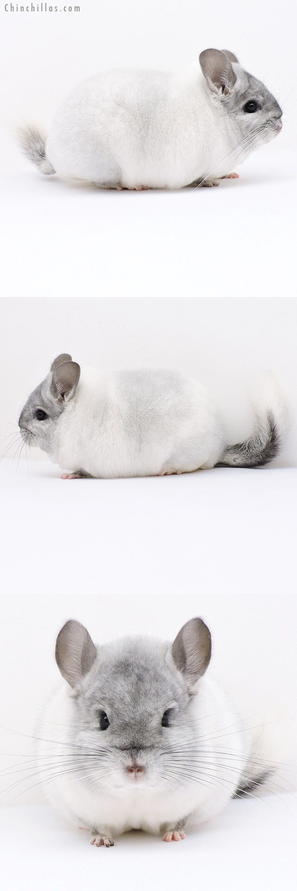 19017 Blocky Herd Improvement Quality White Mosaic Male Chinchilla