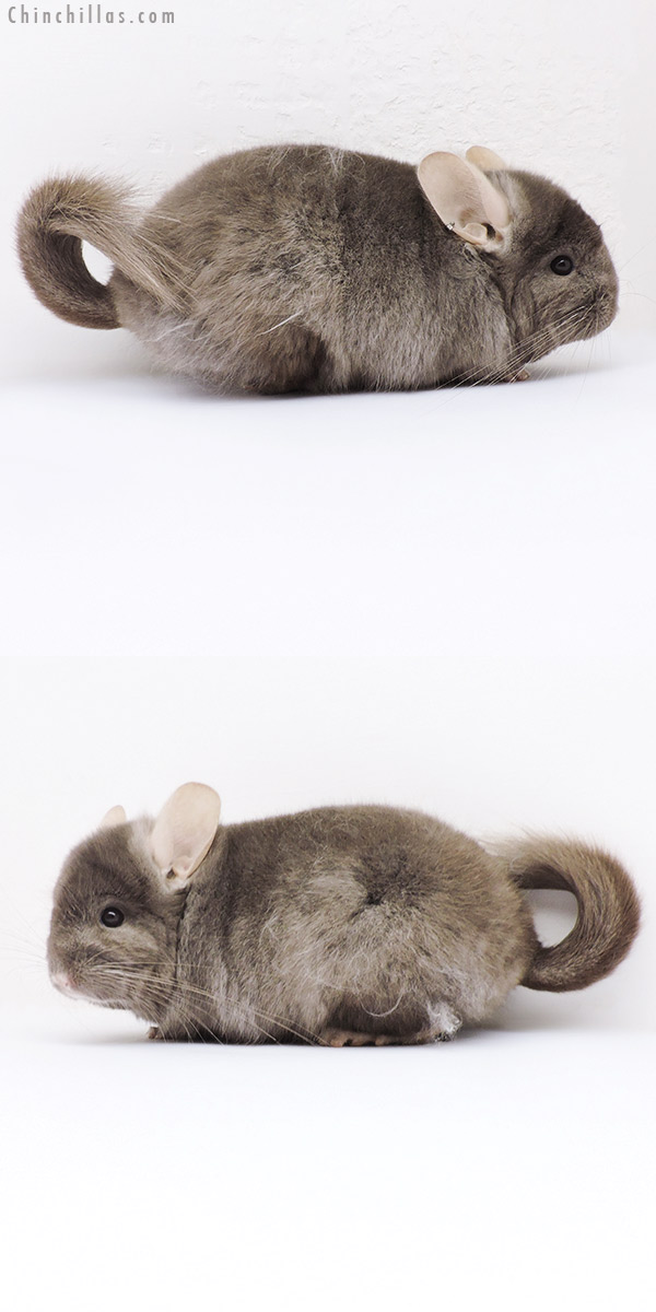 19020 Tan ( Locken Carrier ) CCCU Royal Persian Angora Male Chinchilla