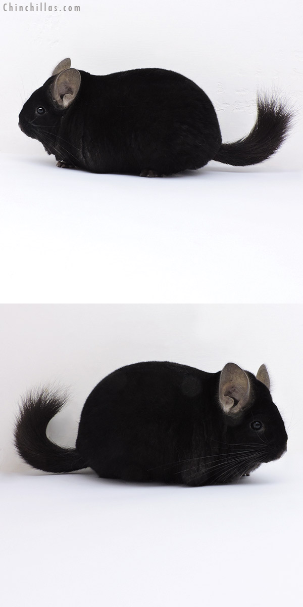 19003 Large Blocky Premium Production Quality Ebony Female Chinchilla