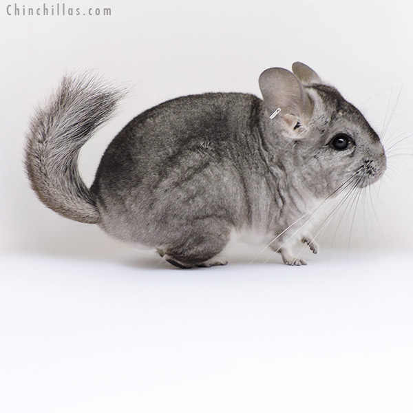 19010 Standard ( Royal Persian Angora & Violet Carrier ) Female Chinchilla
