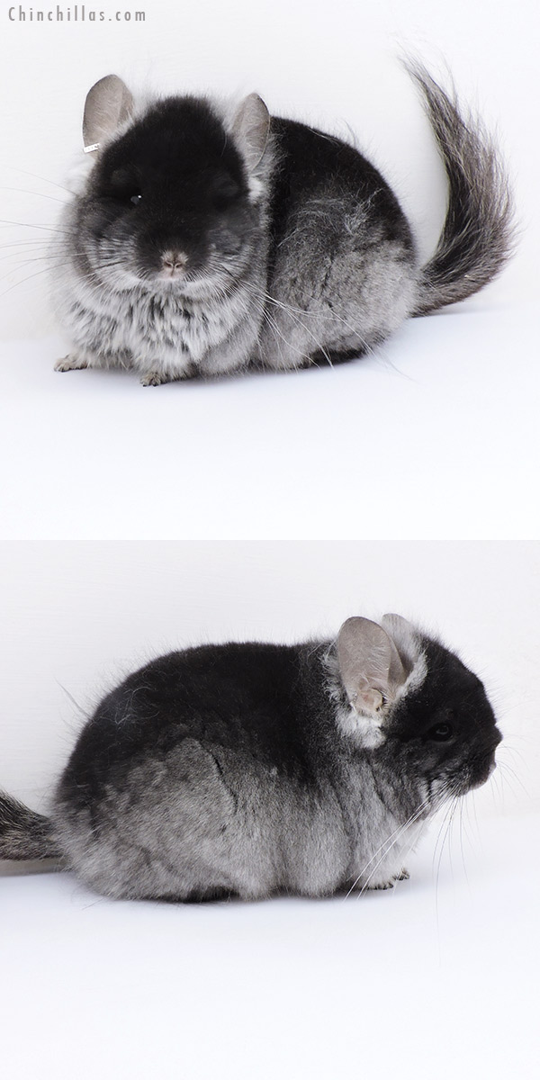 19011 Blocky Brevi Type Black Velvet ( Ebony & Violet Carrier ) CCCU Royal Persian Angora Male Chinchilla